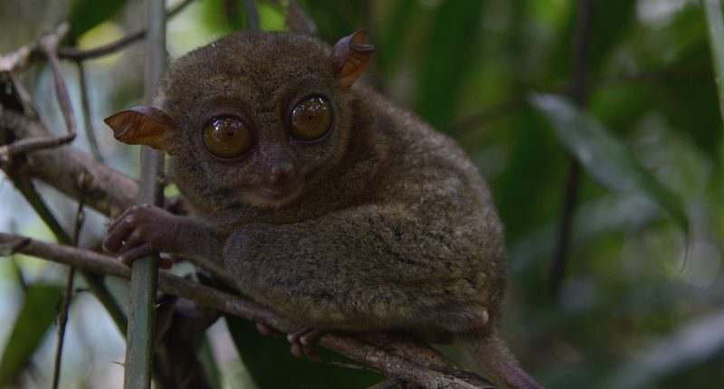 Tarsier monkey, chocolate hills