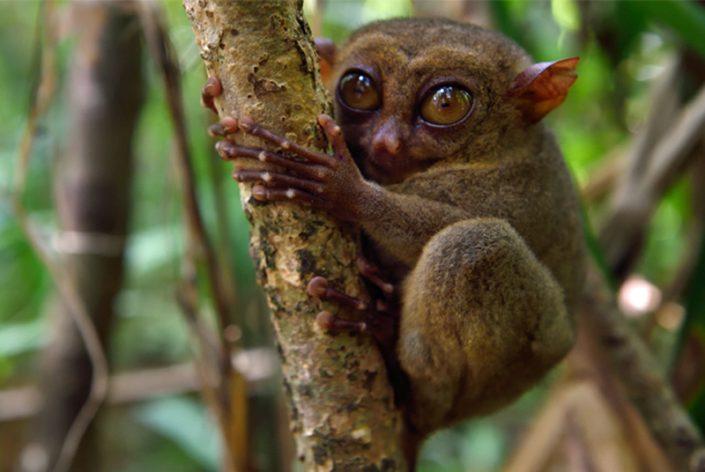 Tarsier monkey Bohol Philippines