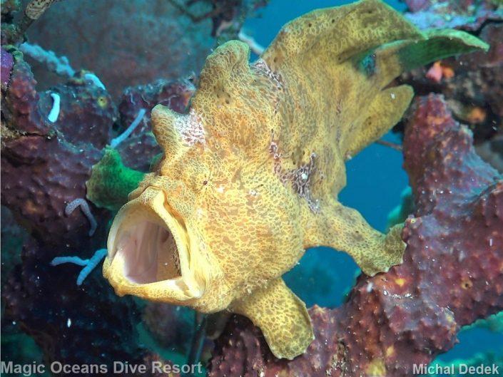 Frogfish Magic Oceans Dive Resort Anda Bohol Philippines