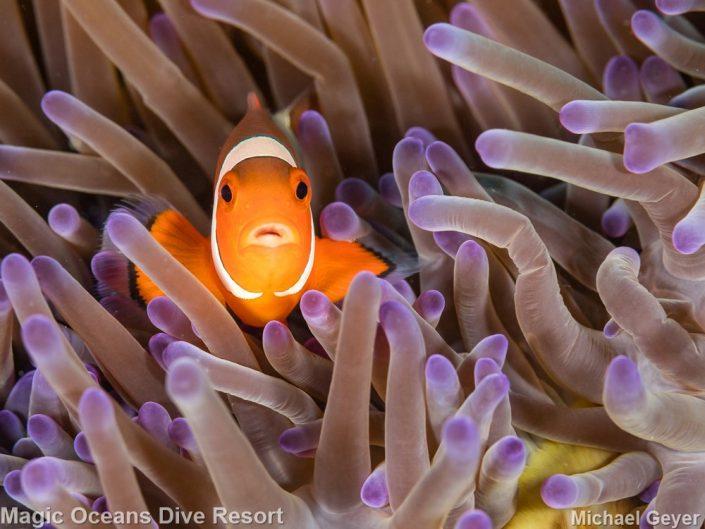 Clownfish Magic Oceans Anda Bohol Philippines