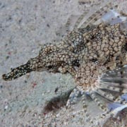 the hallmark of both the seahorse and the sea moth/Pagasidae: their muzzle
