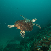 Turtle Camiguin Island Magic Oceans Anda Bohol Philippines