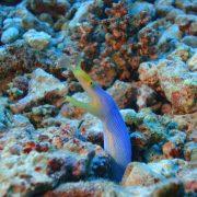 Magic Oceans ribbon eel Camiguin Dive trip