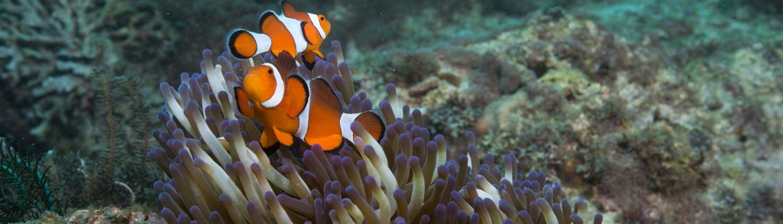 Magic Oceans Camiguin island dive trip clownfish