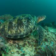 Magic Oceans turtle camiguin dive trip