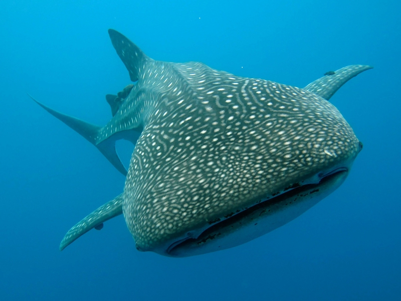 Whale Shark exeperience with Magic Oceans Dive Resort