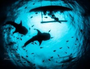 Whale Sharks at Bohol